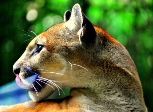 Puma bahia drake