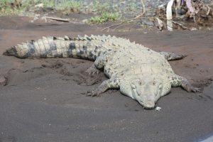 Crocodile Tarcoles