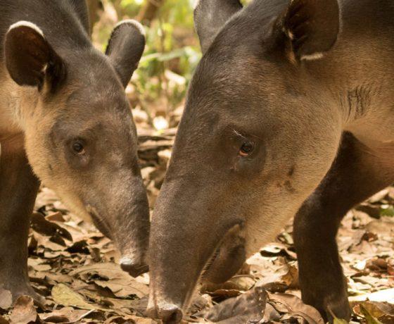 Voici l'image d'un tapir que vous pourrez voir lors d'un voyage sur mesure, d'un autotour ou d'un circuit organisé par Arawak Experience, votre agence locale de tourisme pour un voyage au Costa Rica
