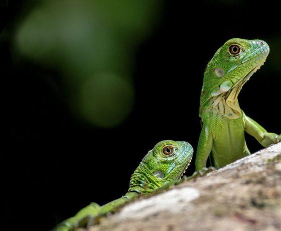 Voici la photo d'un des nombreux animaux que vous pourrez observer lors d'un circuit organisé par Arawak Experience, votre agence locale de tourisme pour un voyage au Costa Rica