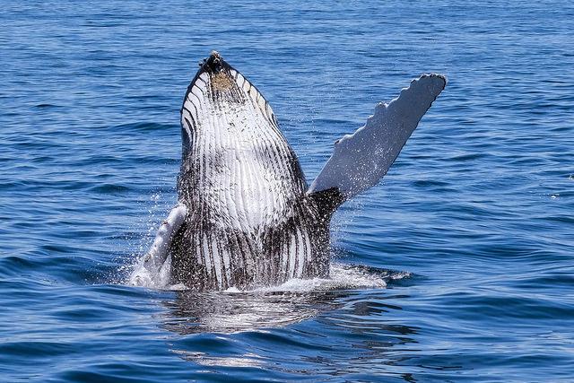Voici l'image d'une baleine à bosse que vous pourrez observer lors d'un voyage sur mesure ou d'un circuit organisé par Arawak Experience, votre agence locale de tourisme pour un voyage au Costa Rica - Baleines au Costa Rica