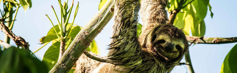 Paresseux sloth Costa Rica
