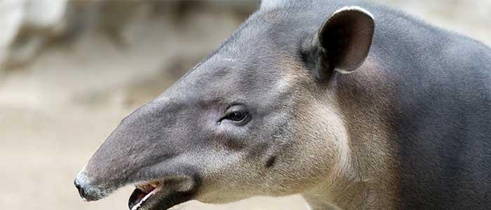 Tapir Baird Costa Rica
