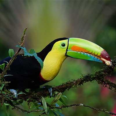 toucan nature