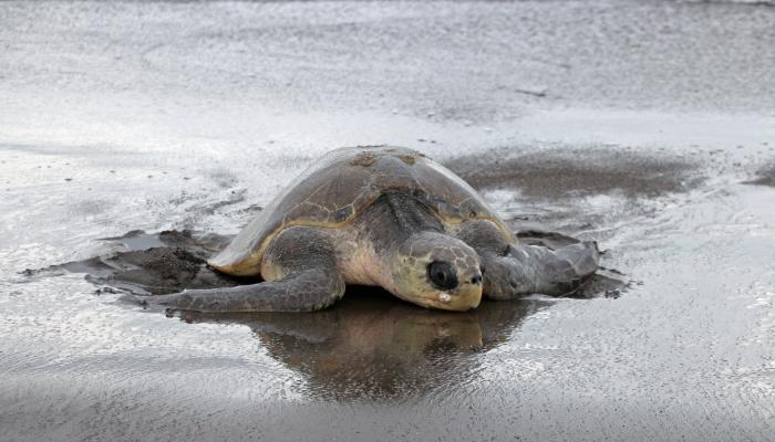 costa rica tortue