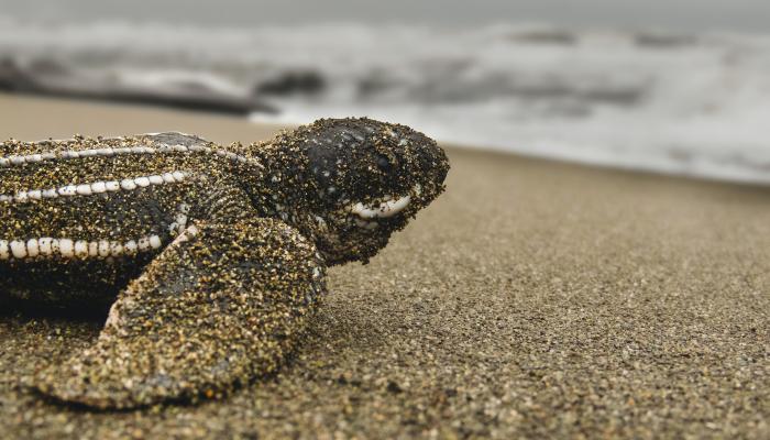 tortue playa grande