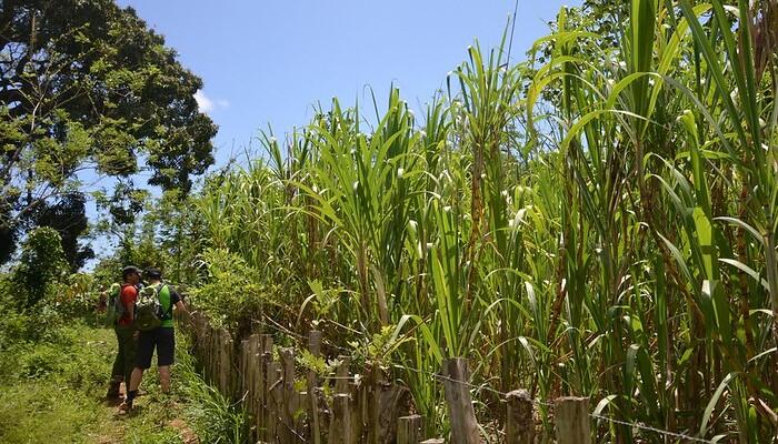 plants de canne à sucre pour rhum